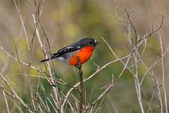 Flame Robin - HWW (DaveSPN) Tags: wingwednesday flame robincanoncanon 7d lltamrontamron sp 150160mmrobinflame robinbirdnaturewerribee river park melbourne australia