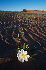 Lone Primrose (kokorozukai) Tags: sand dune desert evening primrose cadiz dunes wilderness mojave