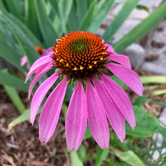 Coneflower beauty (karma (Karen)) Tags: baltimore maryland flowers coneflowers dof bokeh squared cliche hcs iphone cmwd topf25 hbw