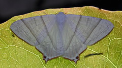 Ourapteryx changi (Endemic species to  Taiwan) 張氏尾尺蛾 (臺灣特有種) (YoyoFreelance) Tags: ourapteryx changi endemic 張氏尾尺蛾 臺灣特有種 特有種 台灣特有種