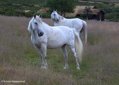 Tiffany and Regine (K. Haagestad) Tags: horses shagyaarabs arabs pasture paddock mountain nature grass cabin evening rondane brekkeseter