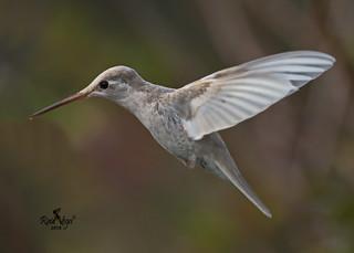 Colibrí Magnífico - Talamanca Hummingbird - (Eugenes spectabilis) - (leucismo-leucistic)