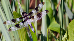 Twelve-spotted Skimmer (Libellula pulchella), Forest Hill Pond, 07/29/18 (TonyM1956) Tags: elements twelvespottedskimmer libellulapulchella foresthillpond tonymitchell nature dragonfly duluth minnesota stlouiscounty macrounlimited sonyalphadslr sonyphotographing