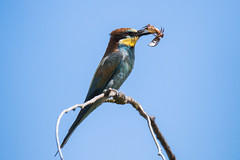 A bug in the bee-eater system. (Gergely_Kiss) Tags: tamron150600g2 canon7dii beeeatercloseup beeeaterwithprey birdwithprey europeanbirds birdsofhungary merops beeeater gyurgyalag