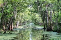 Bayou (erichudson78) Tags: usa louisiana houma bayou canoneos5d canonef70300mmf456lisusm reflection reflets eau water forêt forest mangrove arbre tree