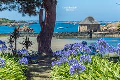 L'île de Bréhat (cyrillebaissac) Tags: bretagne brittany bretagnenord bretagnetourisme bréhat iledebréhat été summer cotesdarmor ile fleurs flowers mer sea