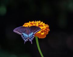 Spicebush Swallowtail (glenda.suebee) Tags: zinnia swallowtail butterfly spicebush spicebushswallowtail ohio summer 2018 glendaborchelt male papiliotroilus explore