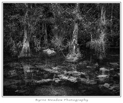 Florida 2018; #8 (Look for the Gator) (Michael Besant) Tags: bigcypressnationalpreserve southernflorida florida monochromatic cypresstree alligator gator landscape michaelbesant byrnemeadowphotography