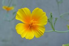 Poppy (Christa_P) Tags: nature flora flowers blumen blüte blossom poppy mohn yellow gelb garden