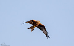 Red Kite Flypast (Steve (Hooky) Waddingham) Tags: stevenwaddinghamphotography bird british wild wildlife countryside nature prey