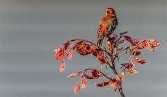 _DSC0222.jpg (David Hamments) Tags: flickrunitedaward bird redbush ontario ojibwaypark fantasticnature rosefinch