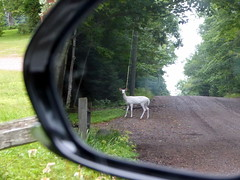 An albino deer in the rear view mirror--Explored (yooperann) Tags: albino white whitetail deer marquette upper peninsula michigan