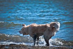 Shake it off - Adam Mattessich (Adam Mattessich) Tags: golden retriever adoptdontshop rescuedog swimming shakeitoff adammattessich dog ocean water playtime beach summer
