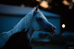 (Jen MacNeill) Tags: rozearabians arabian horse horses equine arab animal stable dark night twilight