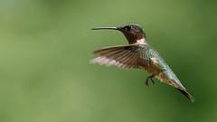 Ruby-throated Hummingbird (Lynn Tweedie) Tags: beak bokeh male canon 7dmarkii missouri tail feathers bird wing rubythroatedhummingbird green eos ef400mm56lusm ngc animal