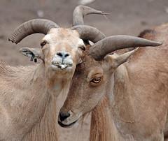 Barbary sheep Amersfoort JN6A7267 (j.a.kok) Tags: schaap sheep manenschaap barbarysheep animal amersfoort azie asia mammal zoogdier dier herbivore