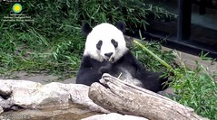 2018_08-07b (gkoo19681) Tags: beibei chubbycubby fuzzywuzzy adorableears brighteyed bootime posing toocute amazing perfection precious darling cooldude beingadorable ccncby nationalzoo