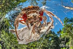 Broad-headed bark spider (Caerostris sp.) - DSC_7228 (nickybay) Tags: macro madagascar andasibe voimma broadheaded bark spider caerostris araneidae orb weaver cctv fisheye wideangle prey africa