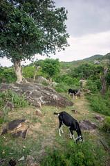 (kuuan) Tags: voigtländerheliarf4515mm manualfocus mf voigtländer15mm aspherical f4515mm superwideheliar apsc sonynex5n southvietnamhcmcvietnamnex5nvinh hylo o stream landscape goats
