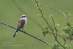 It is raining (KevinBJensen) Tags: birdwatching songbird bird birds nest plumage redwinged blackbird uccelli vogel