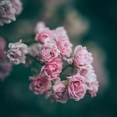 hearts, heartbeats and heartbreakers (--StadtKind--) Tags: bokeh bokehlicious bokehaddicts bokehmasters flower fleur flores fullframe festbrennweite sonyalpha schärfentiefe sonyfe2890macrogoss stadtkind dof depthoffield doflicious rose pflanze primelens plant petal pink