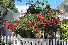 Key West (Florida) Trip 2017 8010Ri 4x6 (edgarandron - Busy!) Tags: florida keys floridakeys keywest house houses plants bougainvillea