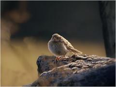 Fledgling Dunnock (jenny*jones) Tags: dunnock prunellamodularis accentor hedgesparrow littlebrownjob fledgling westyorkshire gtbritain aug2018 canon7dmarkii canon100400mmii birdphotography eveninglight backlit
