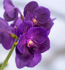 vanda (hodad66) Tags: meyeroptik blooms florida meyer optik gorlitz orestor 13528