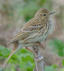 DSC1915  Meadow Pipit.. (jefflack Wildlife&Nature) Tags: meadowpipit mipits pipit pipits birds avian animal animals wildlife wildbirds wildlifephotography songbirds grasslands farmland fields moorland marshland meadows marshes moors heathland heathlands heaths heath countryside norfolk nature