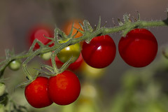 Trostomaat. c003. (George Ino) Tags: copyright flowersbloemen georgeino georgeinohotmailcom natuurnaturnature thenetherlandshollandnederland utrecht tomato tomatoes trostomaten trostomaat red rood vegetable fruit dofbokeh depthoffield