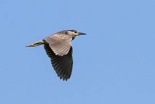 0P7A0429  Black-crowned Night-Heron
