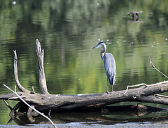 ever the hunter (Mark.Swanson) Tags: heron greatblueheron evergreenlake comlarapark mcleancounty illinois