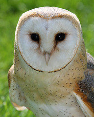 Barn Owl (Buggers1962) Tags: owl barnowl tytoalba bird birdofprey barn prey tyto alba colchester colchestercastlepark highqualityanimals itsazoooutthere birdsofprey churchowl commonbarnowl deathowl delicateowl ghostowl goldenowl hissingowl hobgoblinowl monkeyfacedowl nightowl ratowl screechowl scritchowl silverowl strawowl whiteowl barnyardowl hobbyowl zoo canon canon7d caveowl close closeup demonowl dobbyowl crocodile face portrait whitebreastedowl stoneowl animal nature wildlife owlpicture the wonderful world birds black background surreal eye people