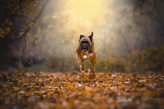 Autumn action (Tamás Szarka) Tags: dog pet animal puppy boxer