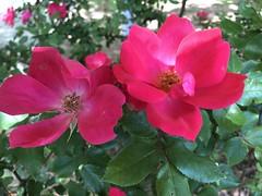 Rose Bush Courtland (King Kong 911) Tags: roses bush buildings courtland blooming
