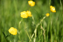 Green meadow with yellow buttercups (tamara_borgianini) Tags: flower nature yellow summer meadow closeup wildflower blossom beauty spring grass botany green growth idyllic leaf outdoors plant season macro landscape garden buttercup sun scene may blue happy through single daisy rays color gardening ornamental petal rural shiny sky transparent uncultivated beautiful bloom blooming bright environment floral warm background common