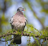 Wood pigeon (hedera.baltica) Tags: pigeon woodpigeon commonwoodpigeon europeanwoodpigeon gołąb grzywacz gołąbgrzywacz columbapalumbus