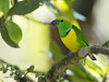 Golden-browed Chlorophonia (Chlorophonia callophrys) (Jorge Chinchilla A.) Tags: goldenbrowed chlorophonia callophrys birds birdwatcher birdphoto costaricabirds avesdecostarica neotropicalbirds ngc jorgechinchilla angelesnorte sanramón costarica américacentral