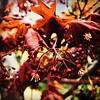 Tree flowers. #collegepark #maryland #iPhone #commute #sidewalk #roadside #iPhonemacro #macro  #flower #flowersofinstagram (Kindle Girl) Tags: roadside collegepark maryland iphone commute sidewalk iphonemacro macro flower flowersofinstagram