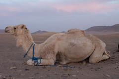 Camel (nnorpa) Tags: morocco marrakech desert sahara camel essaouira zagora sand fish blu cammelli marocco cammello turbant street sunrise sunset sunlight light lights orange colours juice old men bikes lamb souk kids