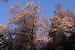 April Snow (qorp38) Tags: trees snowflakes oak sunrise april