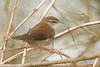 Cetti's Warbler (Cettia cetti). (Sandra Standbridge.) Tags: tribute bird animal cettis warbler wildandfree wild wildlife