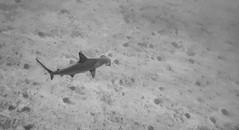 Hammerhead Shark (Corey Hamilton) Tags: hawaii sharks travel gopro hero6 maui scubadiving