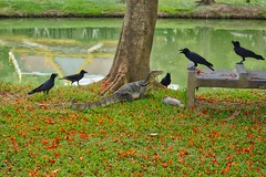 Monitor lizard defending his meal against a murder of crows in Lumphini park in Bangkok, Thailand (UweBKK (α 77 on )) Tags: monitor lizard murder crows meal fish lake pond leaves ground tree lumphini park garden nature reflection grass green red bangkok thailand southeast asia sony alpha 77 slt dslr waran crow raven reptile water