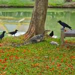 Monitor lizard defending his meal against a murder of crows in Lumphini park in Bangkok, Thailand thumbnail