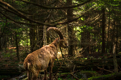 Steinbock. (and.schweighofer) Tags: fuji fujifilm austria österreich outdoor outside colour animal tier steinbock nature natur wald forest light photography voigtländer trees tree bäume