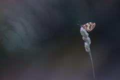 La Mélitée du mélampyre ou Damier Athalie (Thomas Vanderheyden) Tags: lepidoptere butterfly papillon insect insecte nature beautifulearth ngc faune fauna thomasvanderheyden fujifilm xt1 samyang135mm bokeh colors couleur