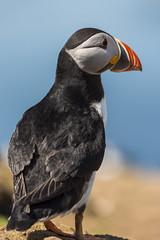 Skomer clown (jebob) Tags: puffin skomer bird island sealife nature jebob feathers bill beak marine coast wales pembrokshire uk