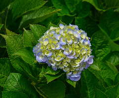 Hydrangea flower (Hydrangea macrophylla) (phuong.sg@gmail.com) Tags: abstract asia asian background beautiful beauty blossom blurred botanic bush color dalat ecology environment flora floral flowers focus fragile freshness green growth herb hortensia hydrangea japan macro macrophylla natural nature nobody outdoor pink plant purple season shrubs soft softness spring summer vietnam wildflower