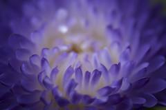Les pétales du cœur (Titole) Tags: chinaaster reinemarguerite purple petals macro flower titole nicolefaton